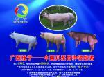 广西桂宁种猪