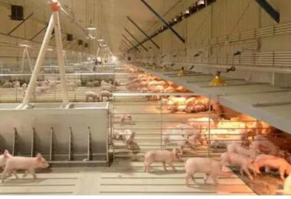 养猪场在寒冷季节要注意哪些细节?
