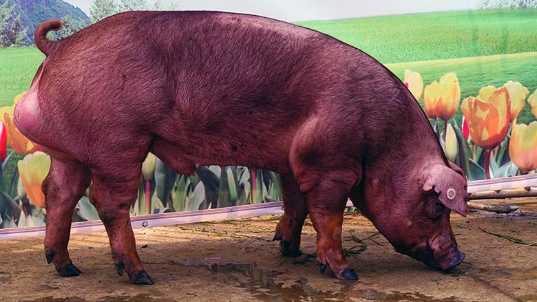 广西第四届种猪博览会拍卖种猪杜洛克第一名