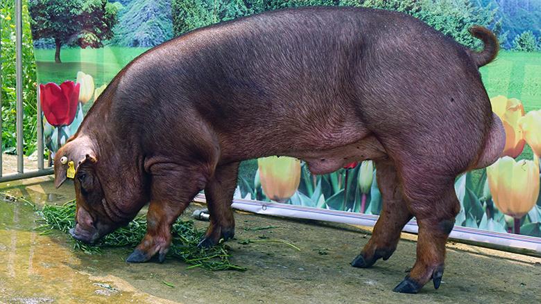 广西第四届种猪博览会拍卖种猪杜洛克第二名