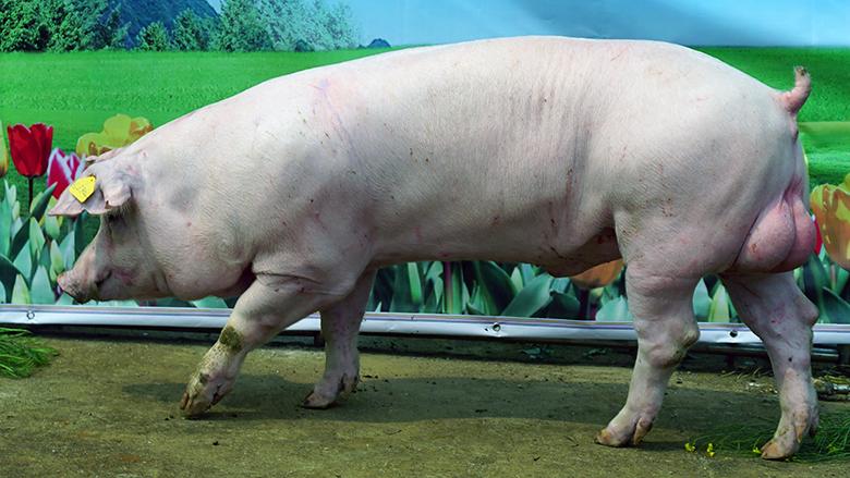 广西第四届种猪博览会拍卖种猪长白第二名