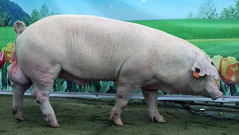广西第四届种猪博览会拍卖种猪长白第四名