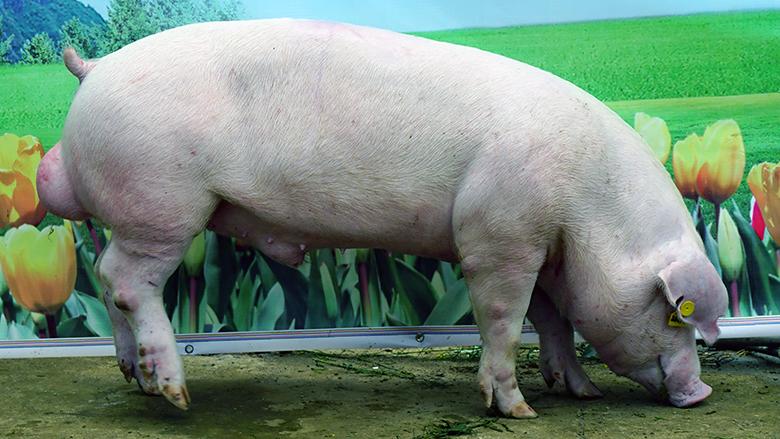 广西第四届种猪博览会拍卖种猪长白第五名