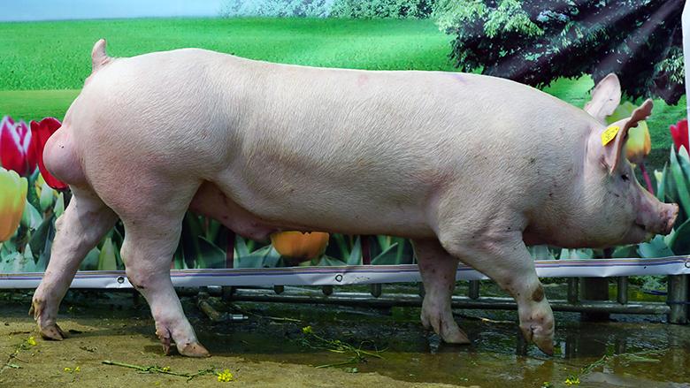 广西第四届种猪博览会拍卖种猪大白第一名