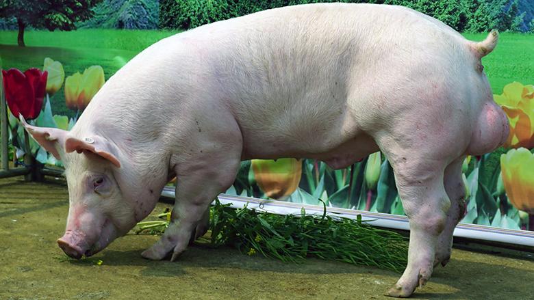广西第四届种猪博览会拍卖种猪大白第二名