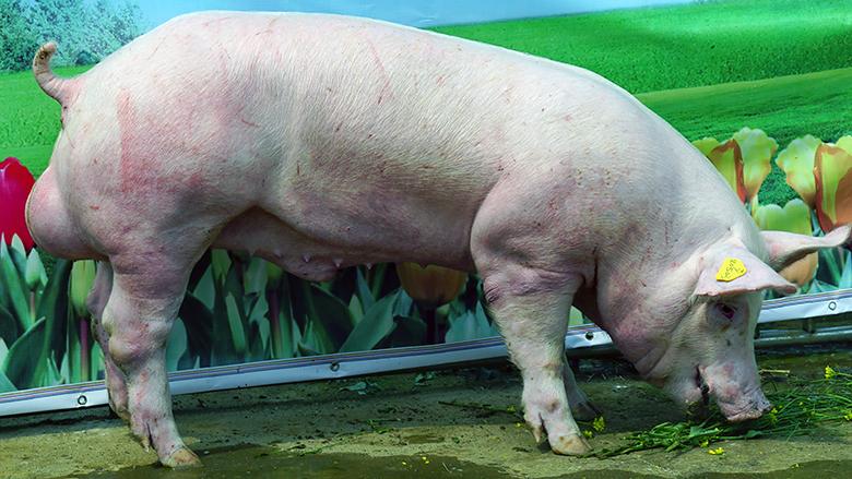 广西第四届种猪博览会拍卖种猪大白第三名