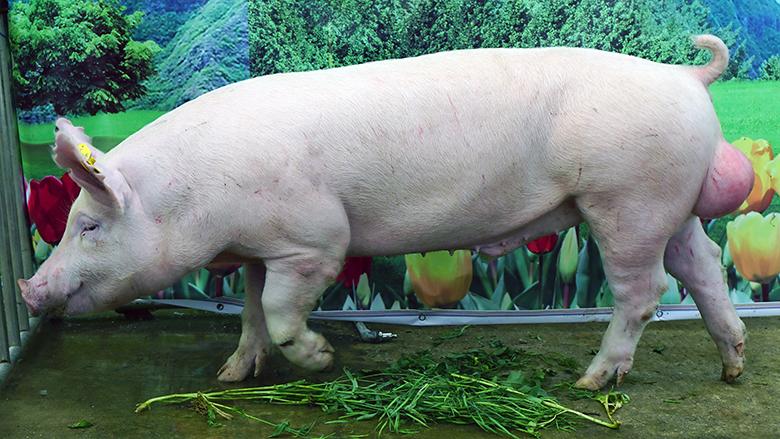 广西第四届种猪博览会拍卖种猪大白第四名