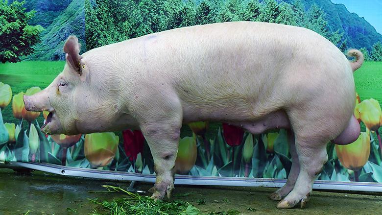 广西第四届种猪博览会拍卖种猪大白第五名