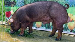 廣西第四屆種豬博覽會拍賣種豬杜洛克第二名
