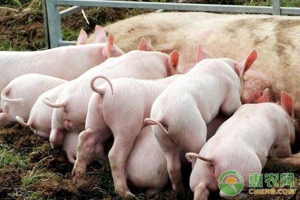 养猪饲料配比
