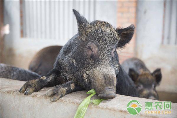 养猪最简单的饲料配方